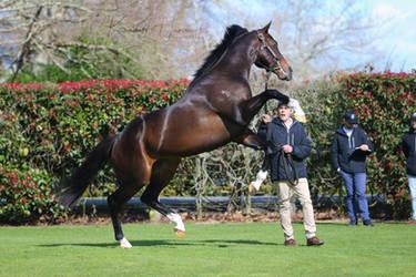 Thoroughbred stallion stock
