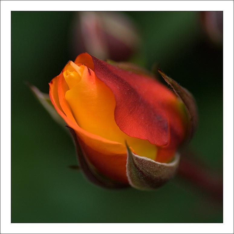 rose by raduborzea