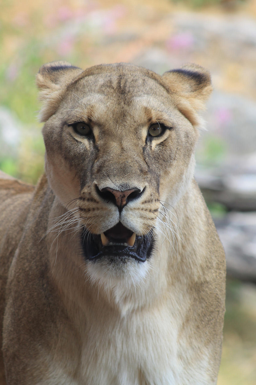 angry lioness - photo #3