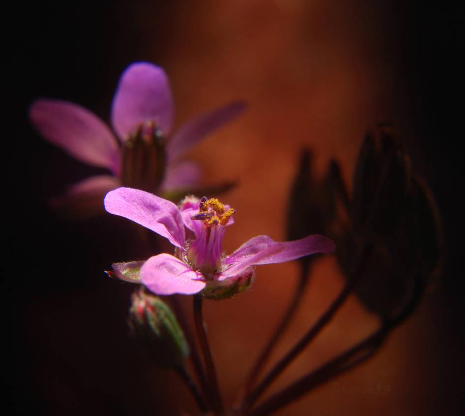 Winter Blooms - Erodium Cicutarium