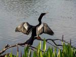Sunning Cormorant by LearaStock
