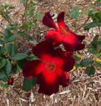 Dual Red Roses
