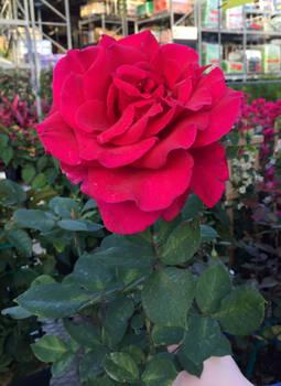 Large Red Rose 2