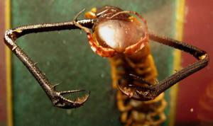 Clawed Centipede Gaff 1 by DETHCHEEZ