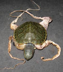 Octo-Turtle Sideshow Gaff 1
