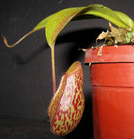 Nepenthes Red Leopard 3 by DETHCHEEZ