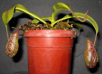Nepenthes Red Leopard 1 by DETHCHEEZ