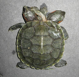 Siamese Turtle Sideshow Gaff by DETHCHEEZ