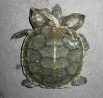Siamese Turtle Sideshow Gaff