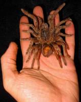 Centi-Spider Of Burma