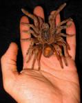 Centi-Spider Of Burma by DETHCHEEZ