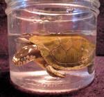 Freak Snake Headed Turtle 1
