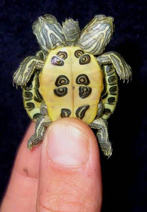 Mutant 2 Headed 5 Leg Turtle 2