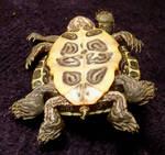 8 Legged Freak Turtle Gaff 3