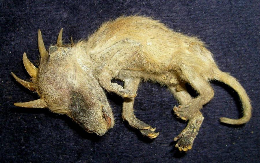 Mummified Chupacabra Fetus 2 by DETHCHEEZ