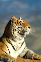 Tiger by sarrobi