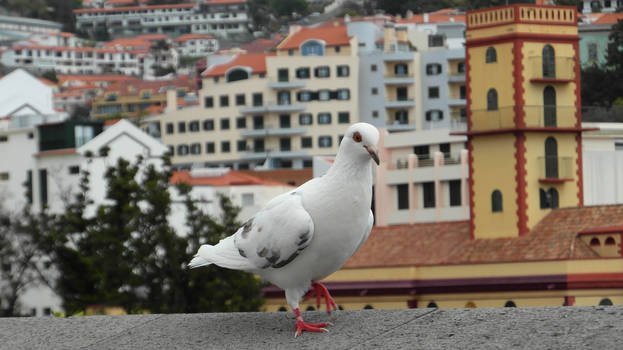 Pigeon in Funchal