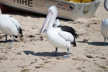 Pelican by Lindalees