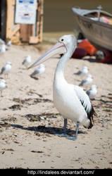 Pelican 2 by Lindalees