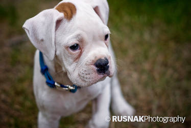 White Boxer by snak
