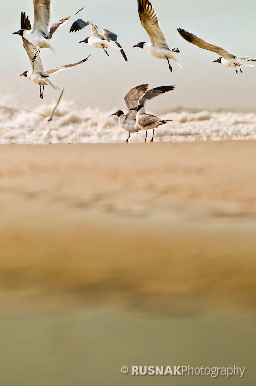 Folly Gulls by snak