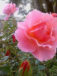 Pink Suprise