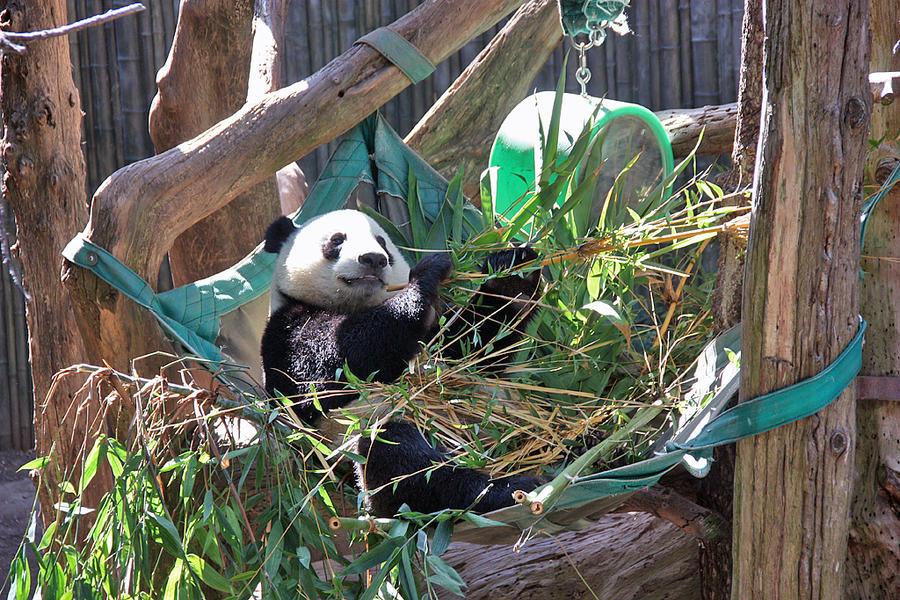 Lazy Panda by PudgeyRedFox