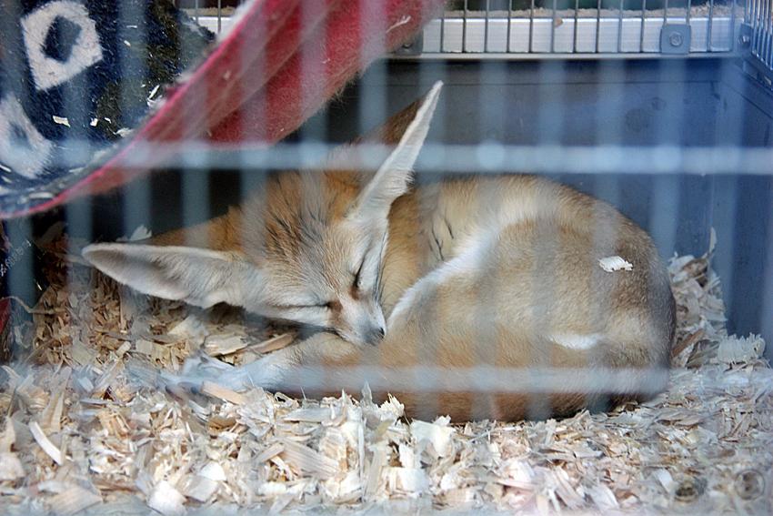 Sleepyfennec by PudgeyRedFox