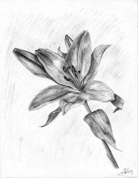 Lily In Graphites