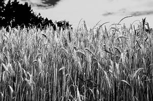 Wheat by Jibril85