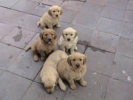 golden retriever puppies by pervertkiba