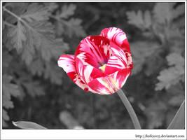 a tulip by kali2005