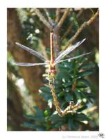 Red Dragonfly by kentuski