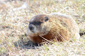 Groundhog by GuillaumGibault