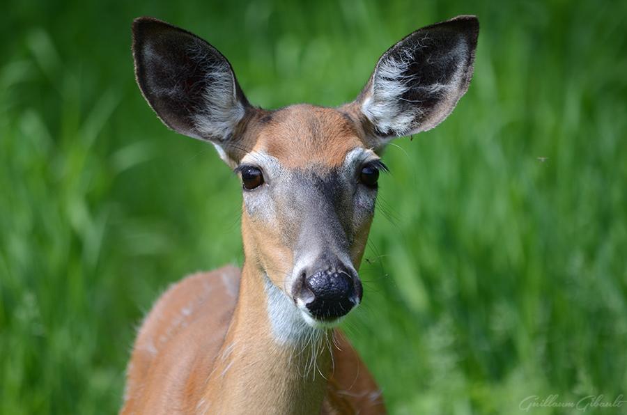 Virginia Deer (female) by GuillaumGibault