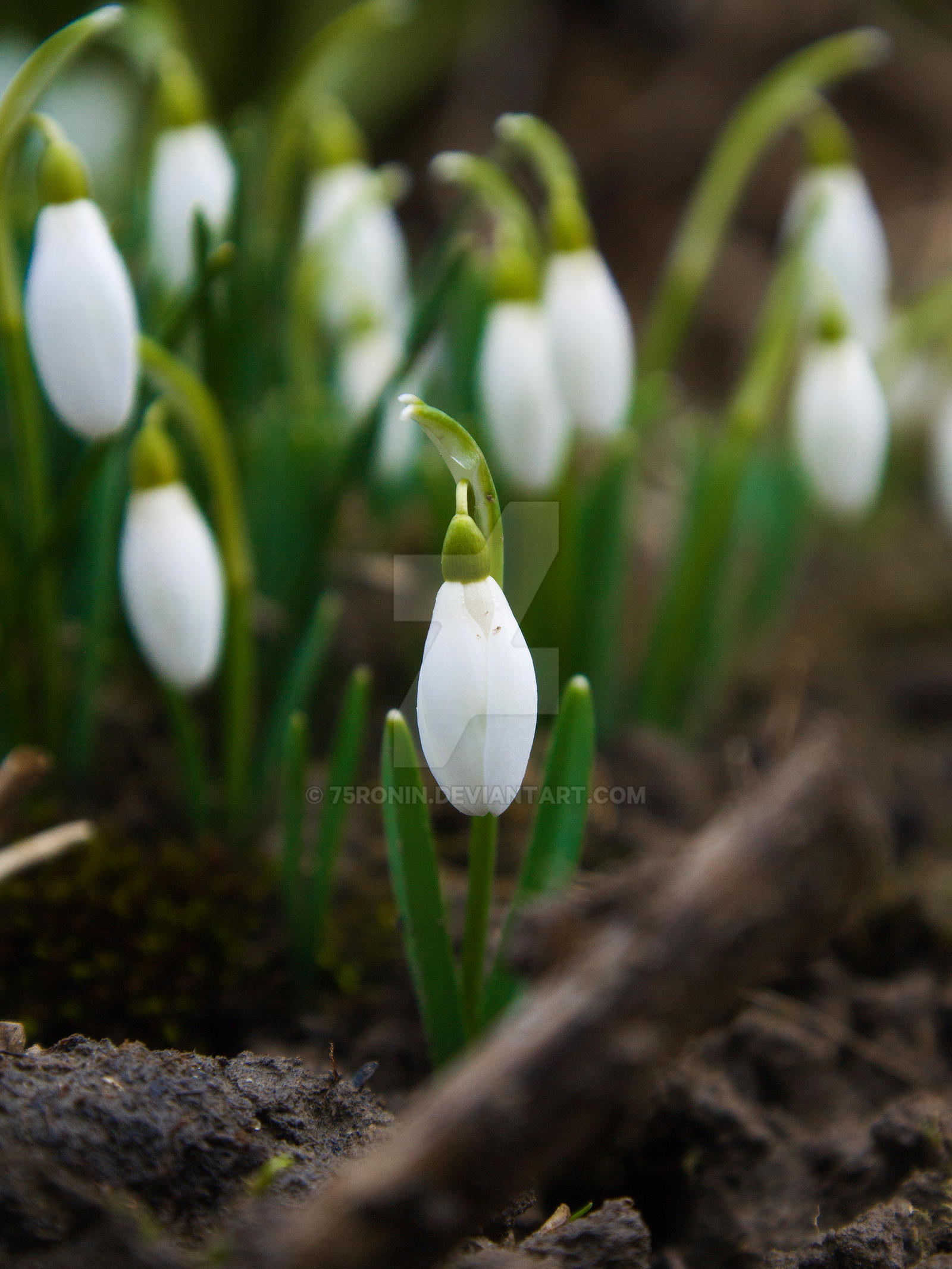 Common snowdrop by 75ronin