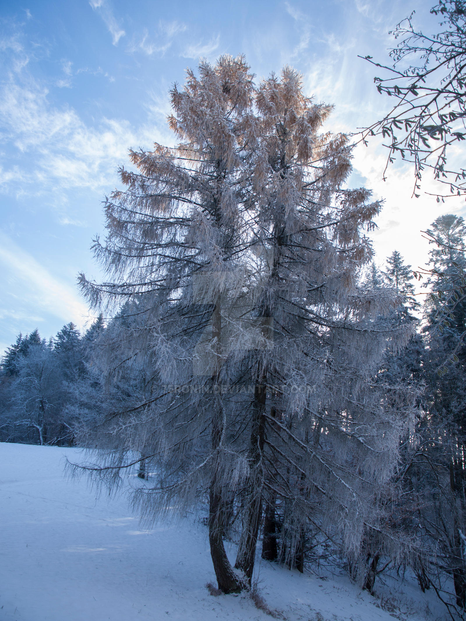 Snowy fir by 75ronin