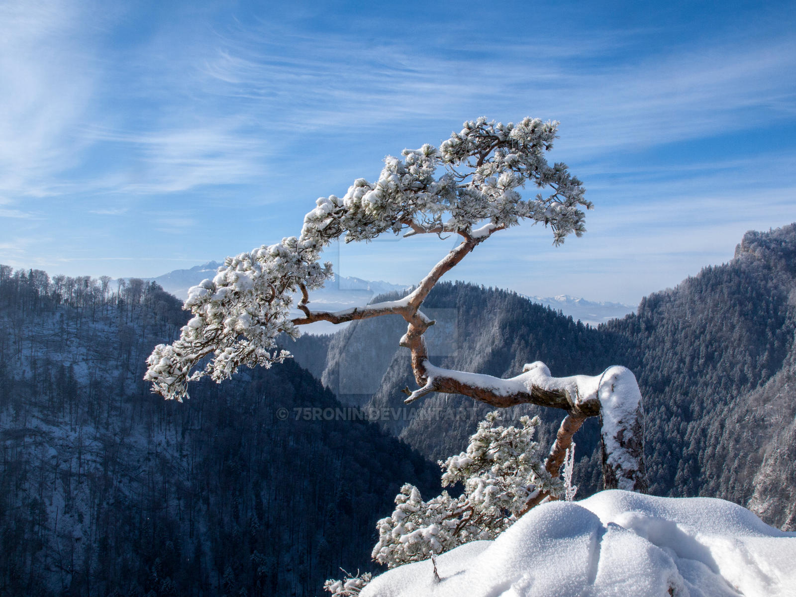 Relict pine on the top of Sokolica by 75ronin
