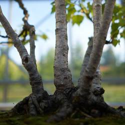 Birch bonzai