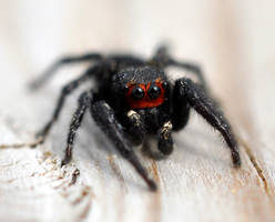Red Faced Spider