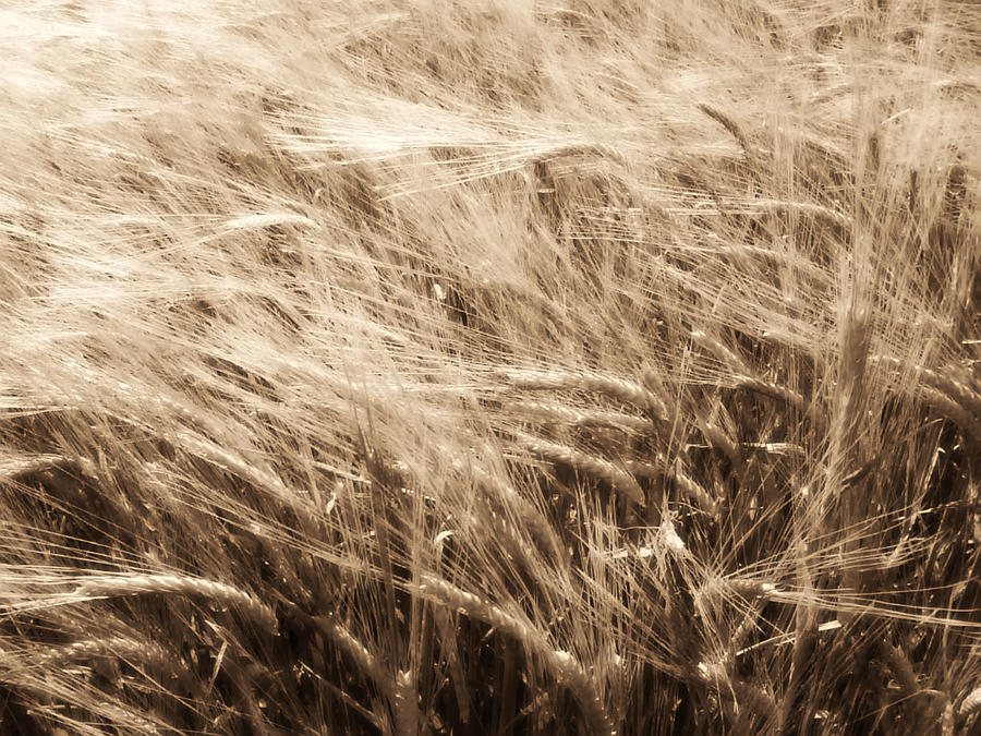 Wheat field 2 by DenyG