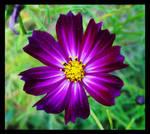 .Purple Passion.