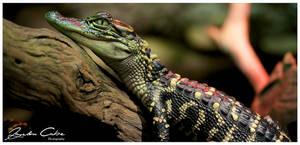 Baby Alligators by jaydoncabe