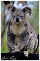 Koala by jaydoncabe
