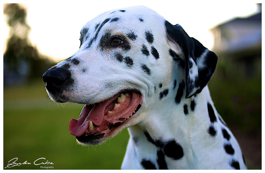 Dante the Dalmatian by jaydoncabe