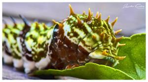 Citrus Caterpillar by jaydoncabe