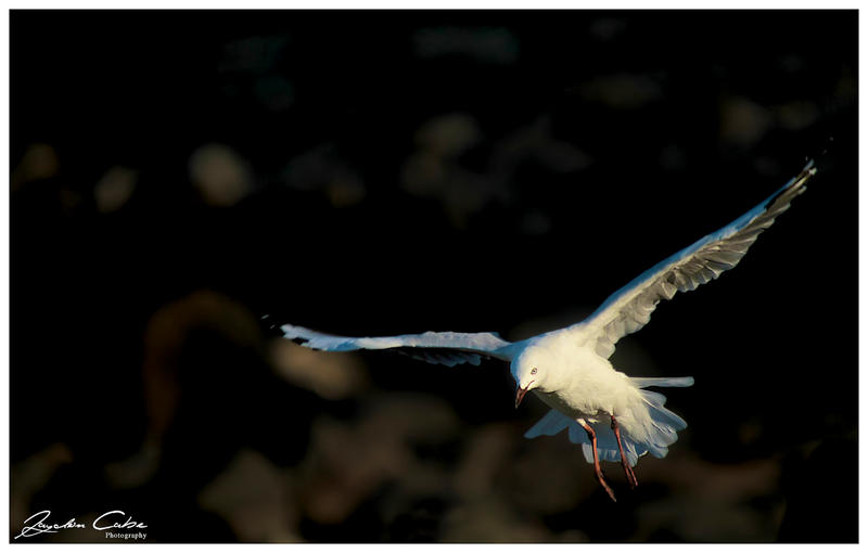 Seagull in Flight by jaydoncabe