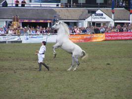 Grey horse rear by xrockinrobynstock