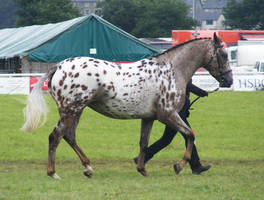Appaloosa 4 by xrockinrobynstock