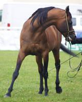 Arabian 16 by xrockinrobynstock